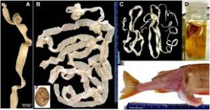 fish tapeworm